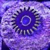 Purple Hornet Single Coralz